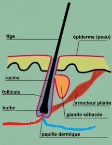 fig-1-anatomie-cheveu