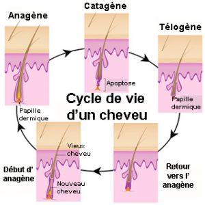 Cycle de vie d'un cheveux